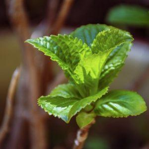 Mentholpflanze